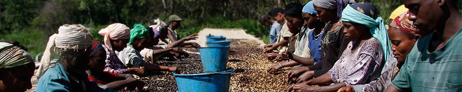 Arbeiten an den Kaffeekirschen